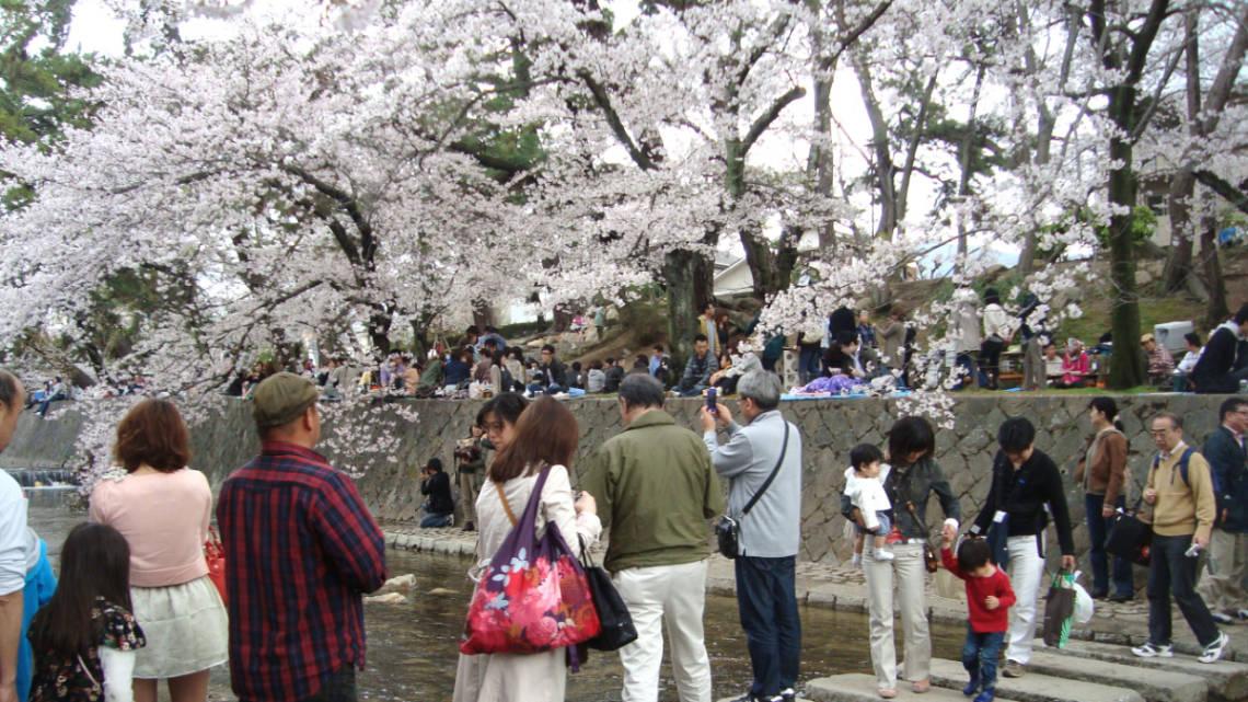 Hanami : admirer les cerisiers en fleurs