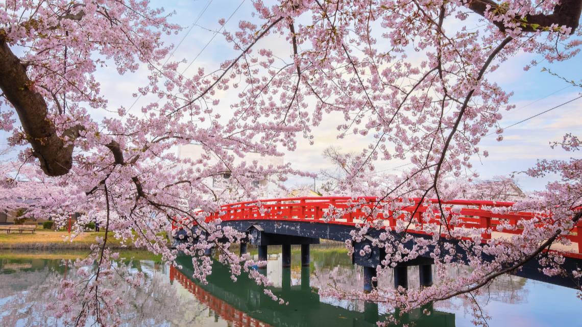 Cerisiers en fleurs à Kyoto