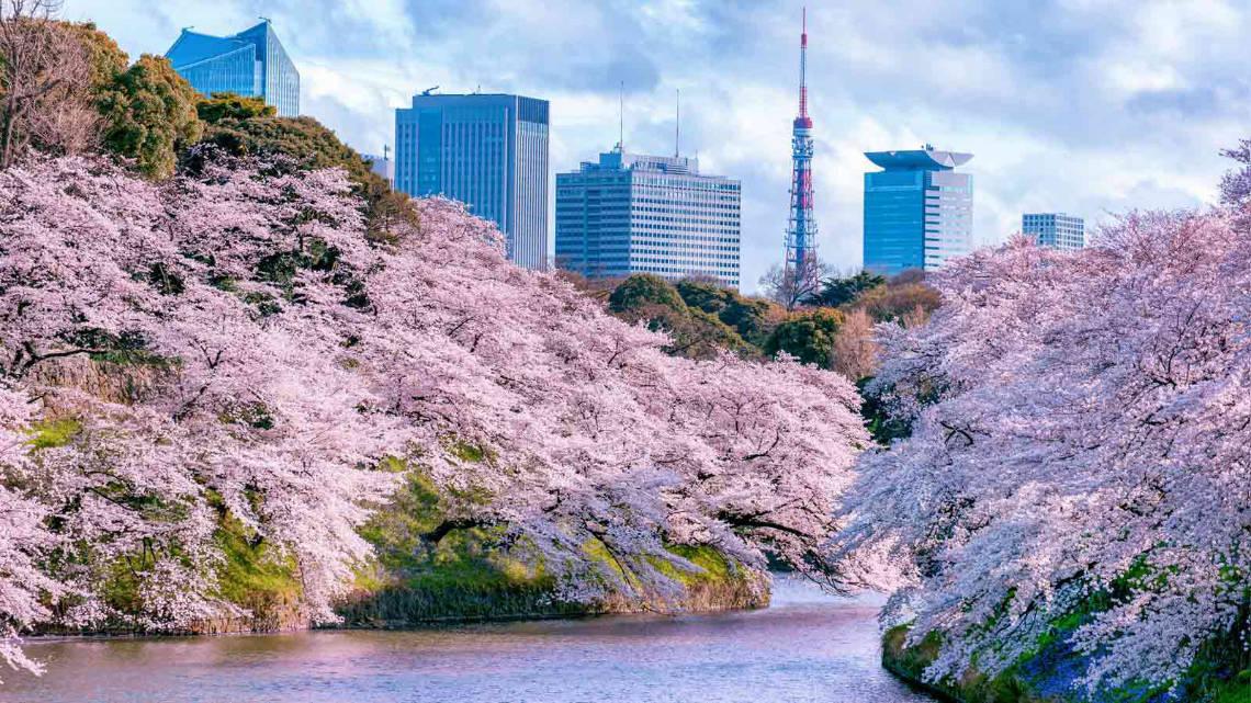 Rivière Sumida entourée de cerisiers en fleurs